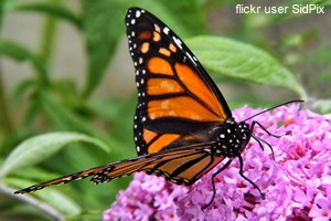 Monarch Butterfly. Source: Flickr user SidPix.
