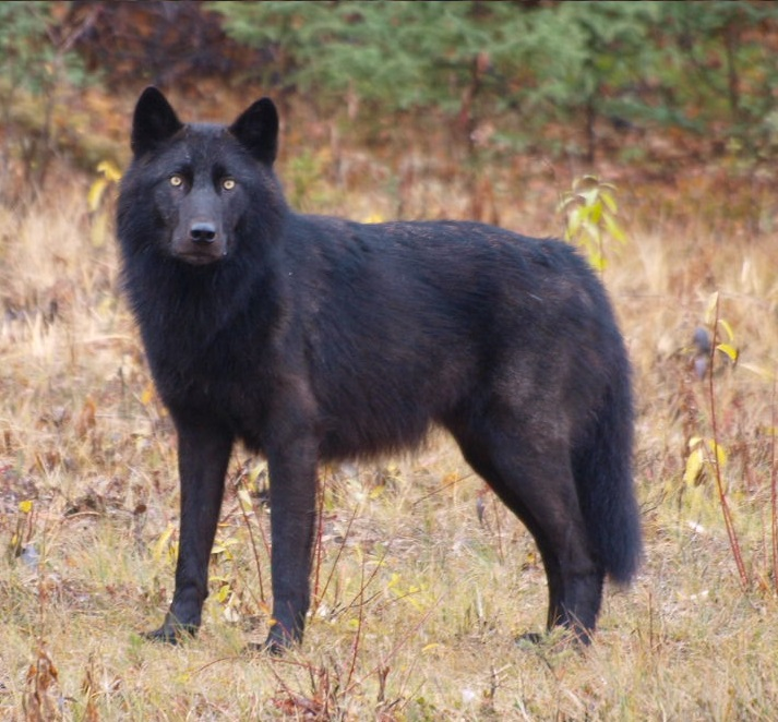 Gray wolves in the Great Lakes still need protecting, according to a recent court decision. Photo: Bruce McKay via Flickr (CC BY-SA 2.0)