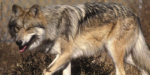 A rare Mexican Grey Wolf