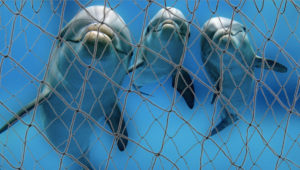Gill nets ensnare, injure, and kill imperiled dolphins and other marine wildlife