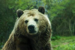 Environmental Action Share: Brown bear (captive). Photo by Jessica Weiller on Unsplash