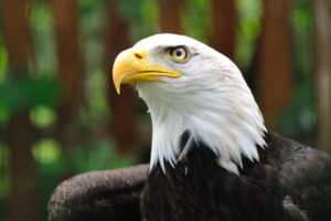 Environmental Action: Bald Eagle. Photo by HaroldHofer via Unsplash