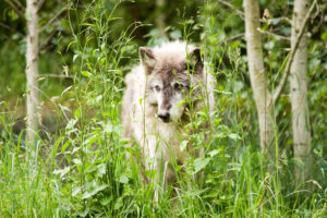 Gray Wolf. Photo: Stuart Seeger via Flickr (CC BY 2.0)