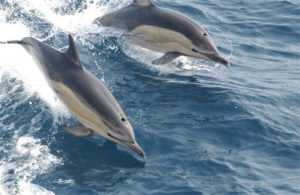 Dolphins at Play (Photo NOAA)
