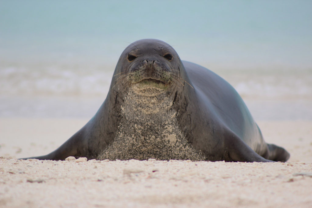 Endangered Hawaiian monk seal. Photo credit: Megan Nagel/USFWS