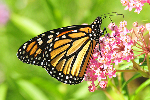 Monarch butterflies have declined by 90 percent since the 1990s. Photo: USFWS