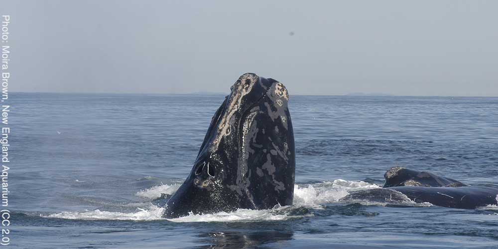 North Atlantic right whale (Photo: Moira Brown, New England Aquarium, CC 2.0)