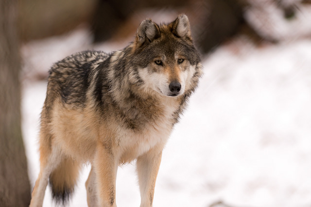 Environmental Action Impact: Gray Wolves