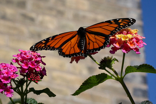Environmental Action Impact: Monarch Butterflies (Photo: Suzanne Schroeder cc 2.0)