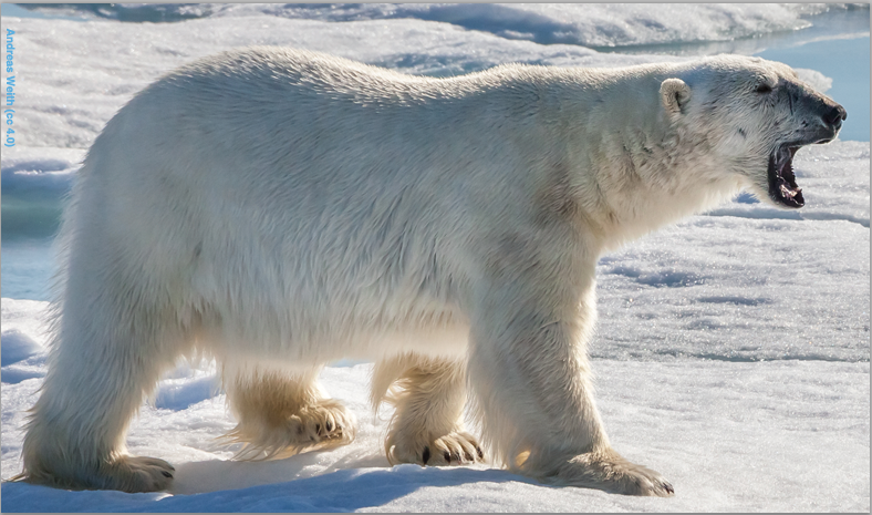 Polar Bears (Photo: Andreas Weith cc 4.0)