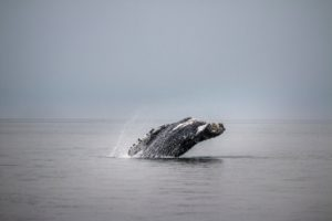 Environmental Action Shares: Whale in Alaska (Photo: Steve Halama via Unsplash)