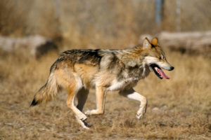 Mexican Gray Wolf (Photo: USFWS)