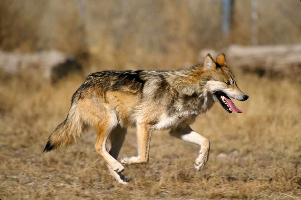 Mexican Gray Wolf (Photo:US)
