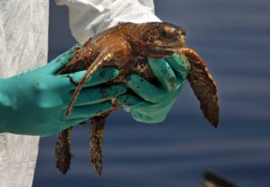 Kemp's Ridley Sea Turtle Oiled By the 2010 BP Deepwater Horizon oil disaster (Photo: NOAA)