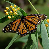 Speak out to save monarch habitat