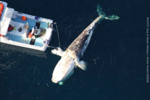 A North Atlantic right whale, found dead off the Virginia coast and entangled in fishing lines. (Photo: Sea to Shore Alliance / NOAA permit