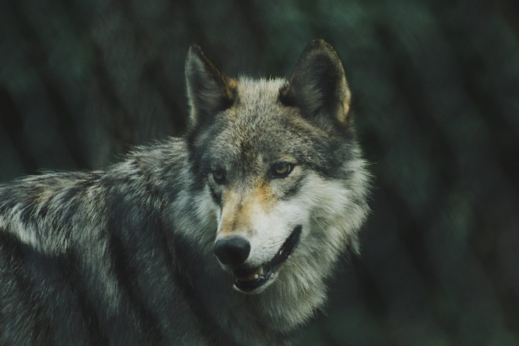 Grey Wolf (Photo: Michael Larosa, Unsplash)