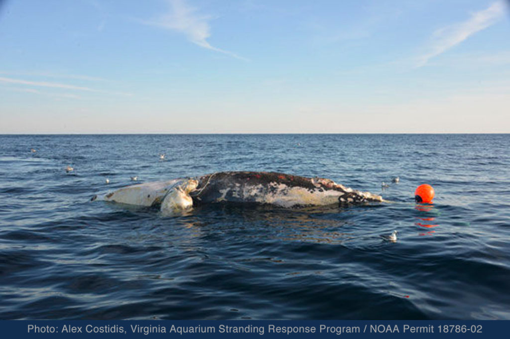 Whale killed by fishing gear entanglement, 2018 (Photo: Alex Costidis, Virginia Aquarium Stranding Response Team)