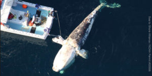 Entangled North Atlantic right whale (Photo: Sea to Shore Alliance / NOAA Permit #20566