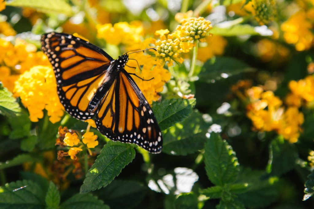 Monarch butterfly (Photo by Kyle Glenn on Unsplash)