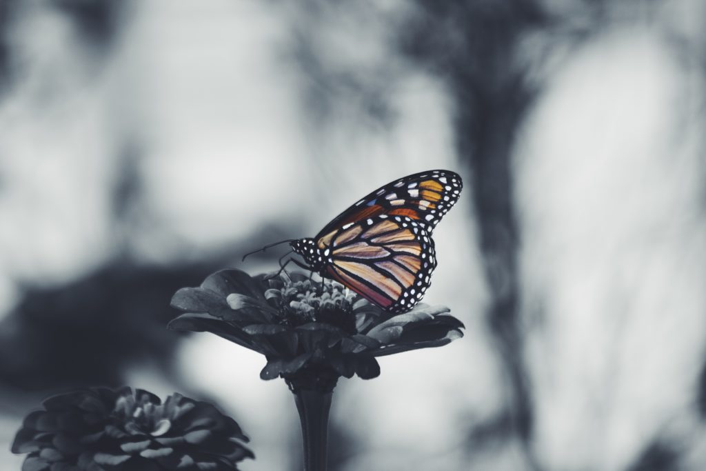 Monarch butterfly (Photo Composition: Noah Silliman via Unsplash)