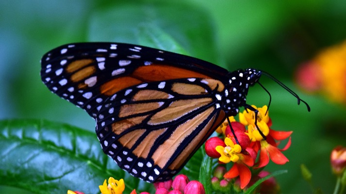 Monarch butterfly (Photo: Pixabay)