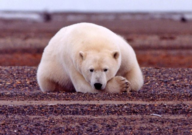 Polar bear resting, Alaska (photo: USFWS)