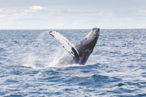 Gray whale, Provincetown. Photo: Thomas Kelley, Unsplash