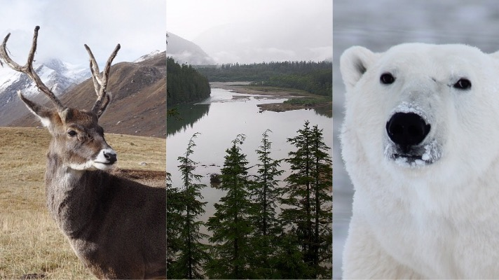 Caribou via Unsplash, Tongass National Forest (USDA), Polar Bear (Robynm on Pixabay)