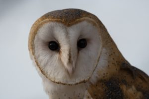 Barn Owl (Photo: Photo by Keith Lazarus on Unsplash)