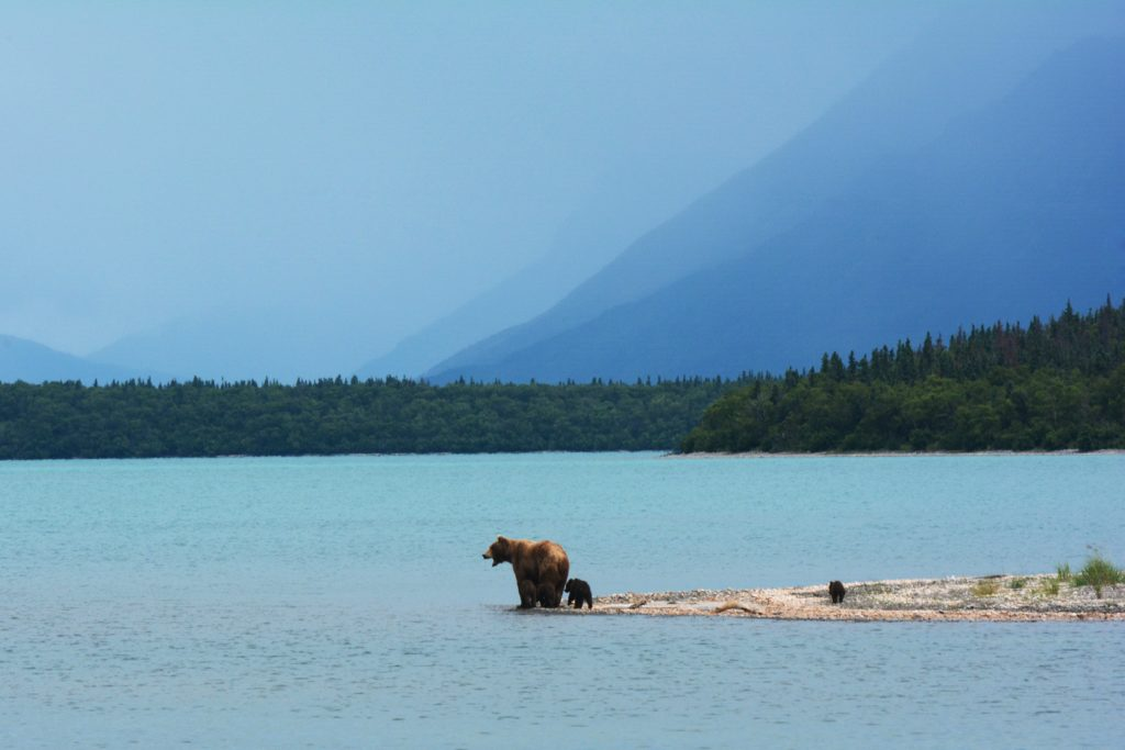 A mother bear teaches her cubs to swim on the edge of Naknek Lake, in Alaska's Katmai National Park. (Photo by Paxson Woelber on Unsplash)