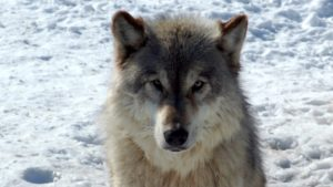 Wolf in Minnesota (Photo: Derek Bakken via WikiMedia, CC 2.0)