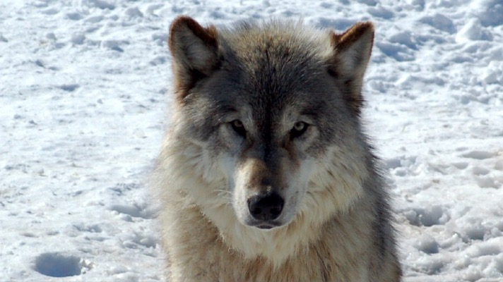 Tell President Trump: Gray wolves need Endangered Species Act Protection