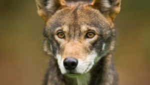 Captive red wolf (Photo: John Froschauer via Flickr, CC 2.0 Licence)
