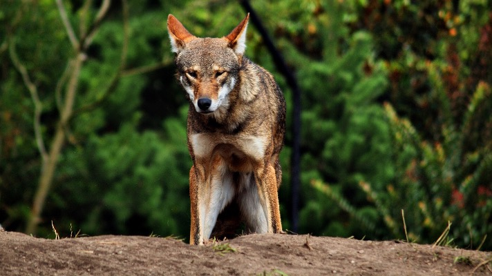 Red Wolf, captive (Photo: Matthew Zalewski via Flickr CC BY 4.0)