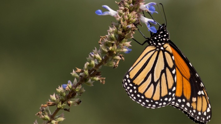 Monarch butterfly (Photo: Wikimedia user Rhododendrites CC 4.0)
