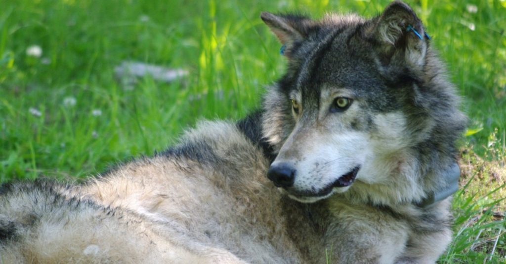 OR14, a female wolf in Oregon (Photo: Oregon Department of Fish and Game)