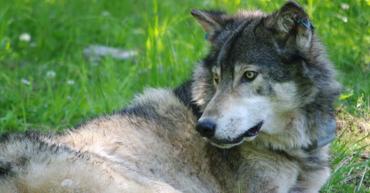 Help Save Grey Wolves from Hunting | Environmental Action
