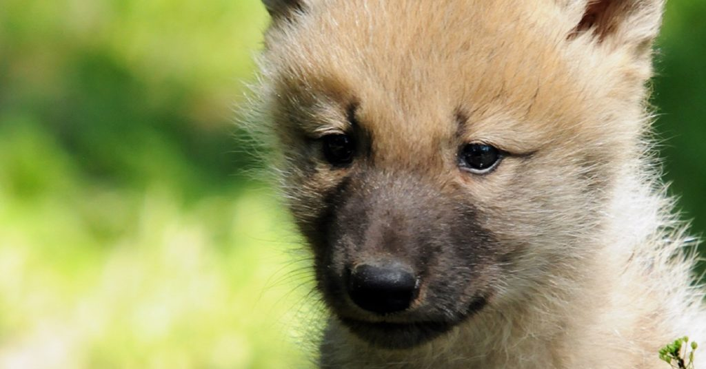 A close-up photograph of a wolf pup.