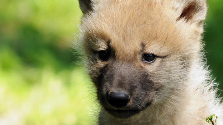 A close-up photograph of a wolf pup. Wolves were almost driven to extinction in the wild during the last century and the 1800s.