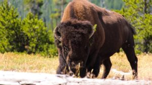 American bison (Unsplash)