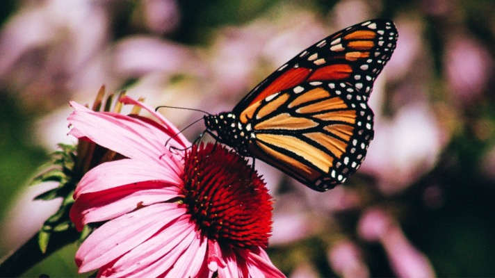 Monarch butterfly (Photo: Erin Wilson, Unsplash)