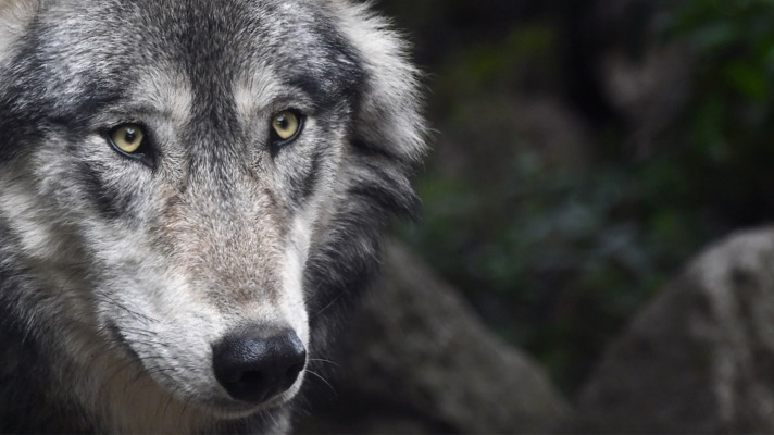 Gray wolf (Photo: Pixabay user christels)