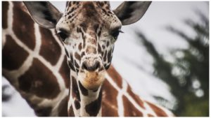 Giraffe (Photo: Juan Carlos Gonzales, Unsplash)