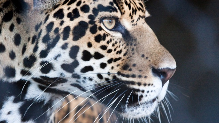 Jaguar (Photo: Nathan Rupert via Flickr, CC BY NCND 2.0)