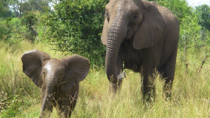 African elephant and calf (USFWS)