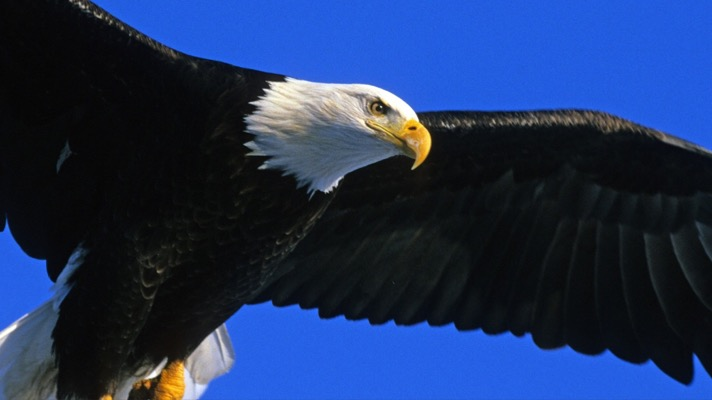Bald eagle (Photo: pixabay)