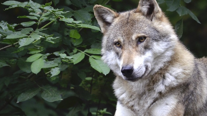 Take action for gray wolves (Photo: gray wolf, Wildfaces for pixabay)