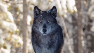 Save wolves in Wyoming (Photo: Pixabay)