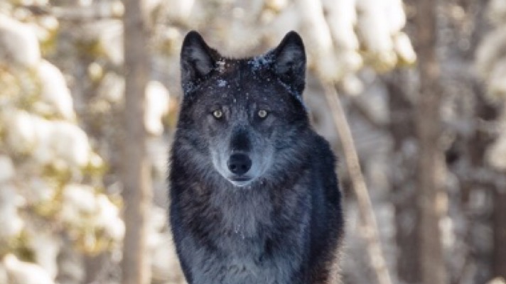 Take Action for Wyoming Wolves